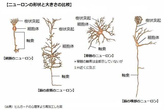 ニューロンの形状と大きさの比較