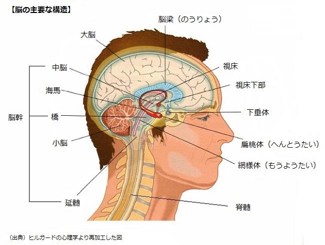 脳の主要構造