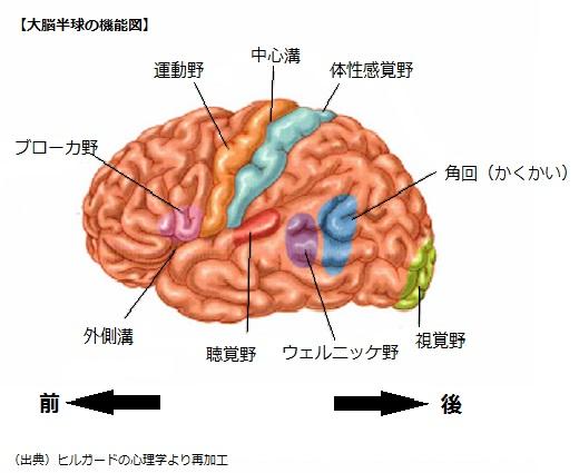 機能図大脳半球の