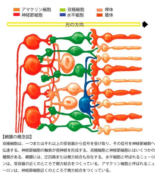 網膜概念図-4