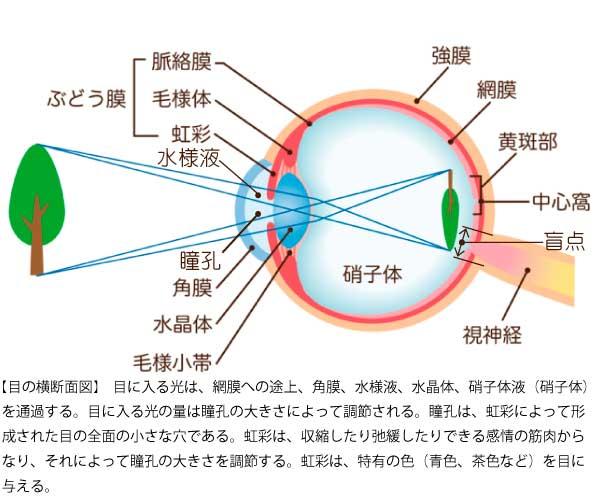目の横断面図-2-2