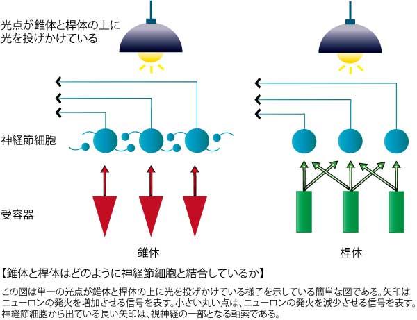 錐体と桿体と神経節細胞の関係